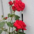 Jeg har tatt livet av mange roser de siste årene og hadde nesten gitt opp å ha roser. Men i fjor satset jeg på nytt og kjøpte én klatrerose og […]